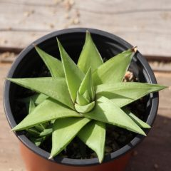 Lime Haworthia