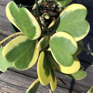 Sweetheart Hoya Variegated