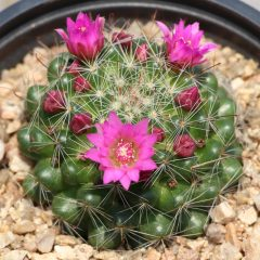 Rose Pincushion Cactus