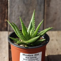 Miniature Aloe