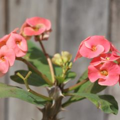 Crown Of Thorns, Pink