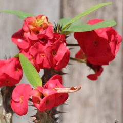 Crown Of Thorns, Dark Pink