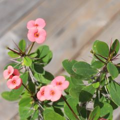 Crown Of Thorns, Pale Pink