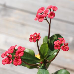 Crown Of Thorns, Red