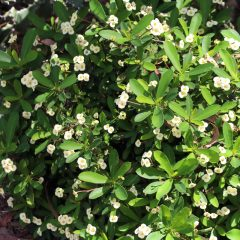 Crown Of Thorns, Dwarf White