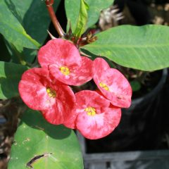 Crown Of Thorns, Mottled Pink