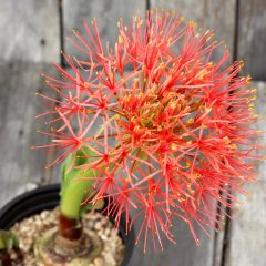 African Blood Lily